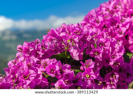 Bugenvilliya violet flowers against the sky