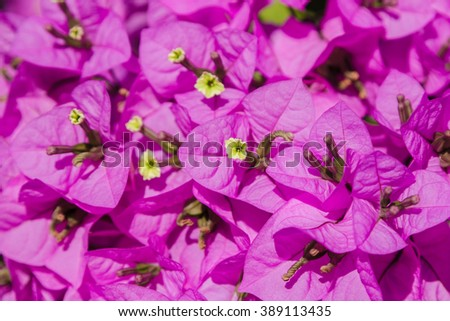 Bugenvilliya violet flowers closeup - stock photo