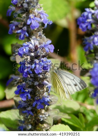 Bugle - Ajuga reptans - stock photo