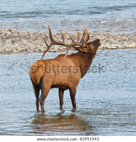 Bugling bull elk, cervus canadensis, in Athabasca River, Jasper National Park, Alberta, Canada - stock photo