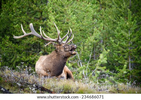 Bugling bull elk in Yellowstone National Park, Wyoming - stock photo