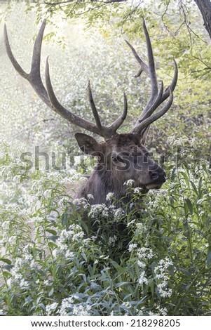Bugling Bull Elk - Photograph taken during the rut in Elk County, Elk State Forest, Benezette, Pennsylvania - stock photo