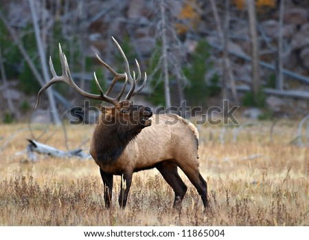 Bugling Elk - stock photo