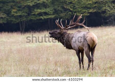 Bugling Elk - stock photo