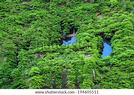 Building wall and window overgrown with ivy - stock photo