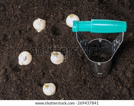 Bulb dibber and flower bulbs ready for being planted into the ground - stock photo
