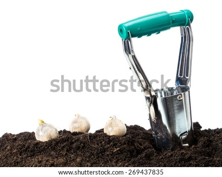 Bulb dibber and three flower bulbs ready for being planted into the ground - stock photo