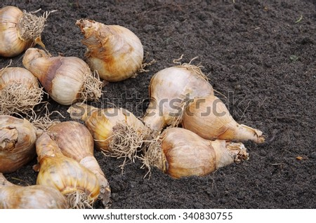 bulb planting  - stock photo