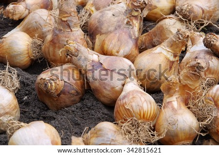 bulb planting  - stock photo