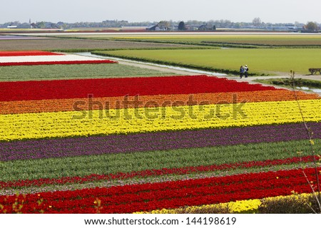 Bulbfields in The Netherlands - stock photo