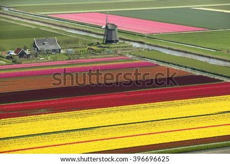 Bulbfields with windmill Anna Paulowna bulb fields in spring   - stock photo