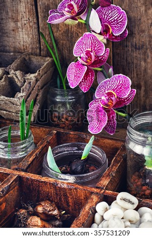 bulbs and plant shoots in a stylish wooden box and blooming Orchid - stock photo