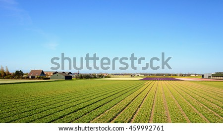 Bulbs fields with beds of budding young tulip plants at Dutch nurseries. - stock photo