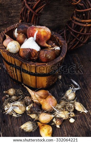Bulbs of plants on the background of wooden tubs in  rural style. - stock photo