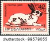 "BULGARIA - CIRCA 1986: A stamp printed in Bulgaria shows English spotted rabbit,   ""Rabbits breeds""  series, circa 1986 - stock photo"