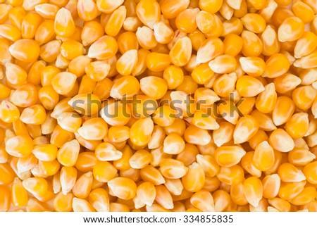 Bulk of corn grains  - stock photo