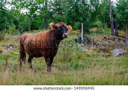 Bull - stock photo