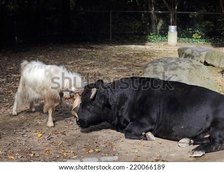 Bull and bock - stock photo