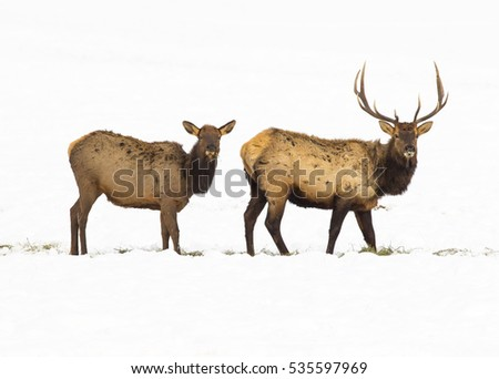 bull and cow elk in refuge feed ground with large set of antlers