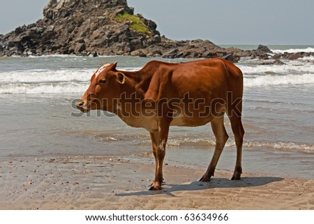 bull at the beach in India state Goa - stock photo