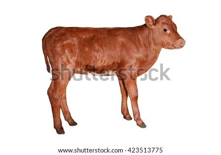 bull-calf isolated on a white background
