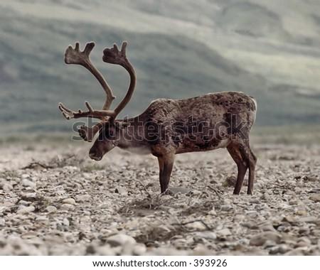 bull caribou in velvet - stock photo