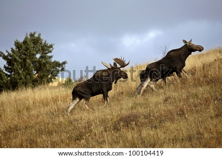 Bull cow and moose calf in the Cypress Hills Park - stock photo