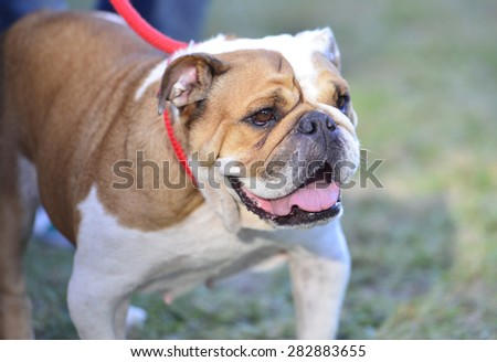 bull dog in the meadow - stock photo
