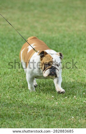 bull dog in the meadow