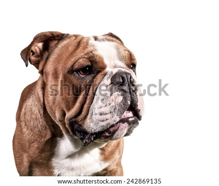 bull dog portrait - stock photo