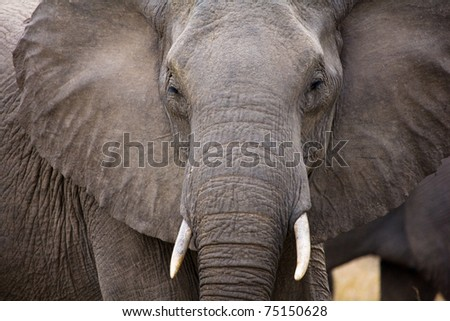 Bull Elephant - Kruger National Park - stock photo
