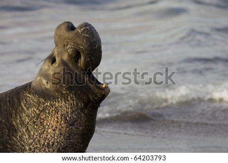Bull Elephant Seal off of the coast of San Simeon Beach - California - stock photo