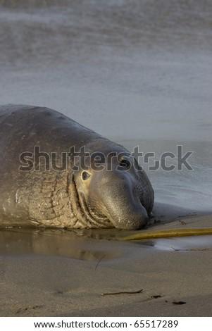 Bull Elephant Seal on San Simeon Beach - California - stock photo