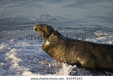 Bull Elephant Seal turns to fight opponent on San Simeon Beach - stock photo