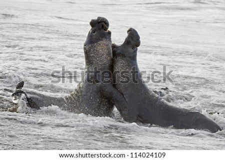 Bull Elephant Seals fight for territory on San Simeon Beach - stock photo