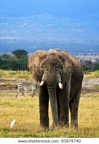 bull elephant with cattle egret