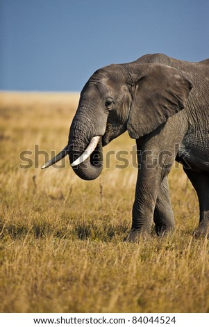 Bull elephant with huge ivory tusks protects the herd