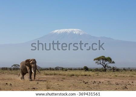 Bull Elephant with Kilimanjaro in background, Amboseli, Kenya - stock photo