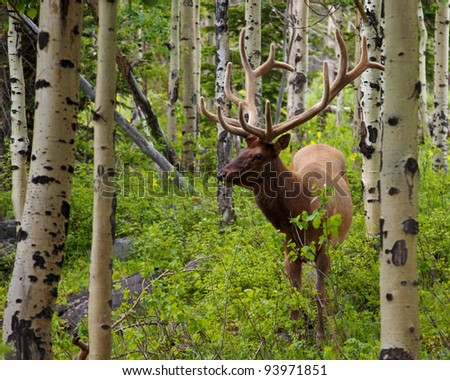 Bull elk browsing in a forest in Rocky Mountain National Park, Colorado. - stock photo