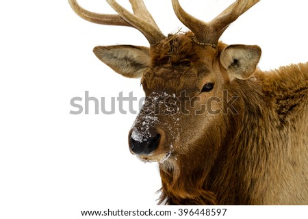 Bull elk closeup stock photo royalty free 396448597 shutterstock bull elk close up publicscrutiny Image collections
