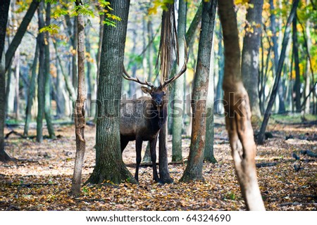 Bull elk graving in the forests of Montana - stock photo