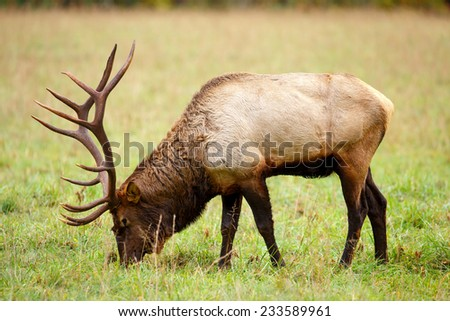Bull Elk Grazing in a field