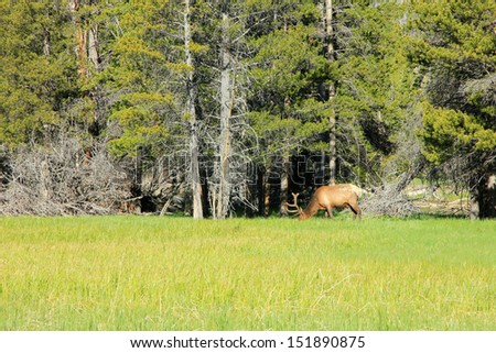 bull elk grazing in a grassy meadow, Yellowstone National Park, Wyoming, USA. - stock photo