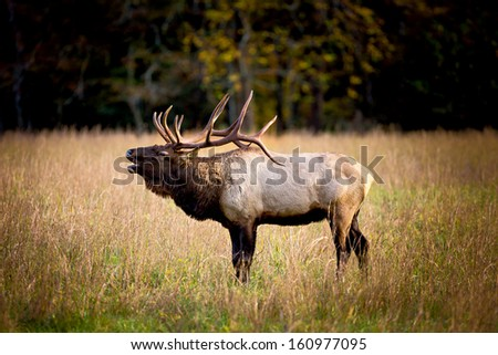 Bull Elk in a field