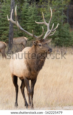 Bull Elk in Jasper National Park