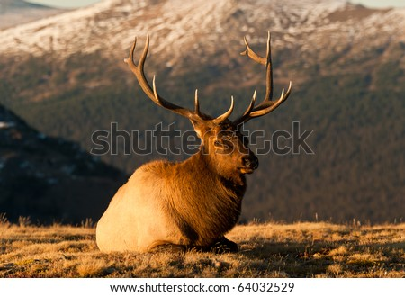 Bull Elk  In The Colorado Tundra During Rut Near Trail Ridge Road - stock photo
