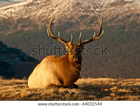 Bull Elk  In The Colorado Tundra During Rut Near Trail Ridge Road