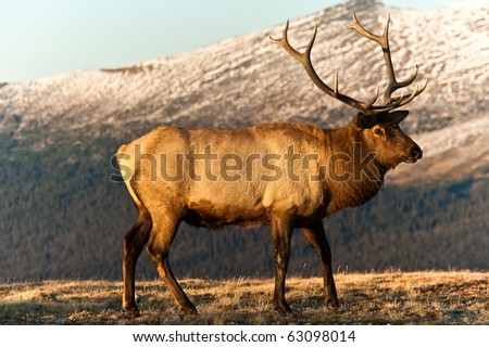 Bull Elk In The Tundra