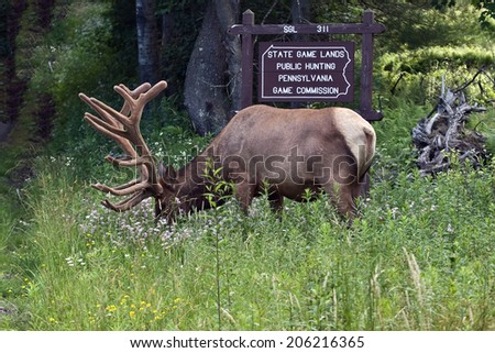 Bull Elk in Velvet - Photograph taken during the rut in Elk County, Elk State Forest, Benezette, Pennsylvania - stock photo