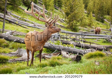 Bull elk in Yellowstone park in summer - stock photo